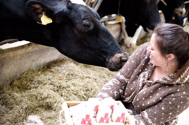 mucca e yogurt